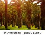 date paln trees  a beautiful... | Shutterstock . vector #1089211850