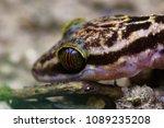 Small photo of closeup shot of Oriental garden lizard - Calotes versicolor ,Garden lizard ,Changeable lizard in nature