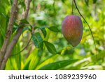 a ripe mango growing on a tree. | Shutterstock . vector #1089239960