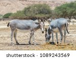 somali wild donkey  equus... | Shutterstock . vector #1089243569