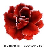 flower  red violets  on a white ... | Shutterstock . vector #1089244358