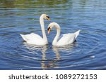 swan steam on the water surface | Shutterstock . vector #1089272153