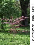 Small photo of Decorative red leaves of the Japanese maple (Acer palmatum)