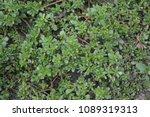 portulaca oleracea. purslane.... | Shutterstock . vector #1089319313
