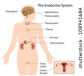 the endocrine system | Shutterstock . vector #108941684
