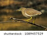 indian pond heron watching... | Shutterstock . vector #1089457529