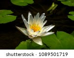 white lotus and leaves in pond. | Shutterstock . vector #1089501719