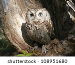 Eastern Screech Owl Raptor In...