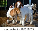 Stock photo baby goats 108953099