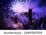sea anemones close up   Shutterstock . vector #1089585509