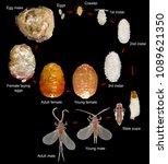 Small photo of Tamarix Manna Scale insect (Mealybug), Trabutina mannipara, is a pest of Tamarix (tamarisk, salt cedar). Macro. Development stages