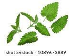 melissa leaf or lemon balm... | Shutterstock . vector #1089673889