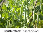 Fresh Bean Plant Growing In Th...