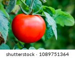 tomatoes branch field ... | Shutterstock . vector #1089751364