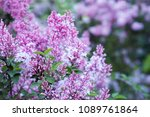 lilacs in the garden. blooming... | Shutterstock . vector #1089761864