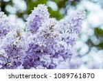 lilacs in the garden. blooming... | Shutterstock . vector #1089761870
