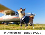 funny photo of the akita inu... | Shutterstock . vector #1089819278
