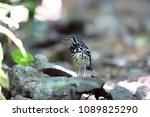 ashy thrush  geokichla cinerea  ... | Shutterstock . vector #1089825290