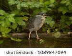 striated heron mangrove heron ... | Shutterstock . vector #1089847094
