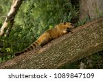 south american coati  ring... | Shutterstock . vector #1089847109