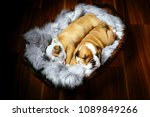 two puppy of english bulldog in ...   Shutterstock . vector #1089849266