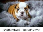 cute english bulldog puppy...   Shutterstock . vector #1089849290