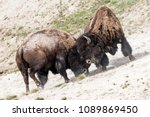 Wild Bison Sparring In...