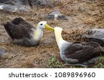 waved albatross  also known as... | Shutterstock . vector #1089896960