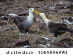 waved albatross  also known as... | Shutterstock . vector #1089896990