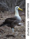 waved albatross  also known as... | Shutterstock . vector #1089897008
