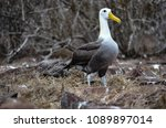 waved albatross  also known as... | Shutterstock . vector #1089897014