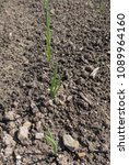 Small photo of Young Shoot of a Home Grown Organic Onion Plant (Allium cepa) on an Allotment in a Vegetable garden in Rural Devon, England, UK