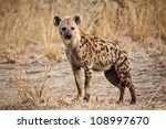 Portrait Of Spotted Hyena In...