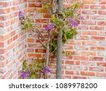 blooming purple wisteria  plant ... | Shutterstock . vector #1089978200