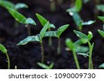 green sprout growing from... | Shutterstock . vector #1090009730