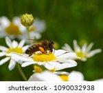 honey bee worker collecting... | Shutterstock . vector #1090032938