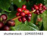 coffee berries  cherries  grow... | Shutterstock . vector #1090055483