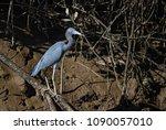 little blue heron   egretta... | Shutterstock . vector #1090057010