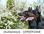 couple of big black doberman... | Shutterstock . vector #1090091048