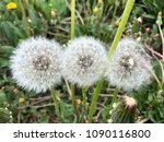 Small photo of Dandelions fadeaway detail