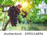 ripe grapes hung on vineyards... | Shutterstock . vector #1090116896