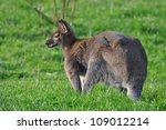 kangaroo on a grass | Shutterstock . vector #109012214