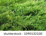 Small photo of Dense green leafage of savin juniper shrub.