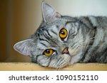 scottish straight cute cat...   Shutterstock . vector #1090152110
