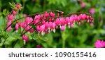 A Closeup Of Dicentra Flowers