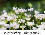 Snowdrop   anemone anemone...