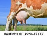 udder of a young cow | Shutterstock . vector #1090158656