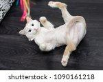 shaved cat oblique blue eyes...   Shutterstock . vector #1090161218