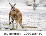 Kangaroo In  Open Zoo  Thailand