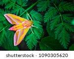 deilephila elpenor  also known...   Shutterstock . vector #1090305620